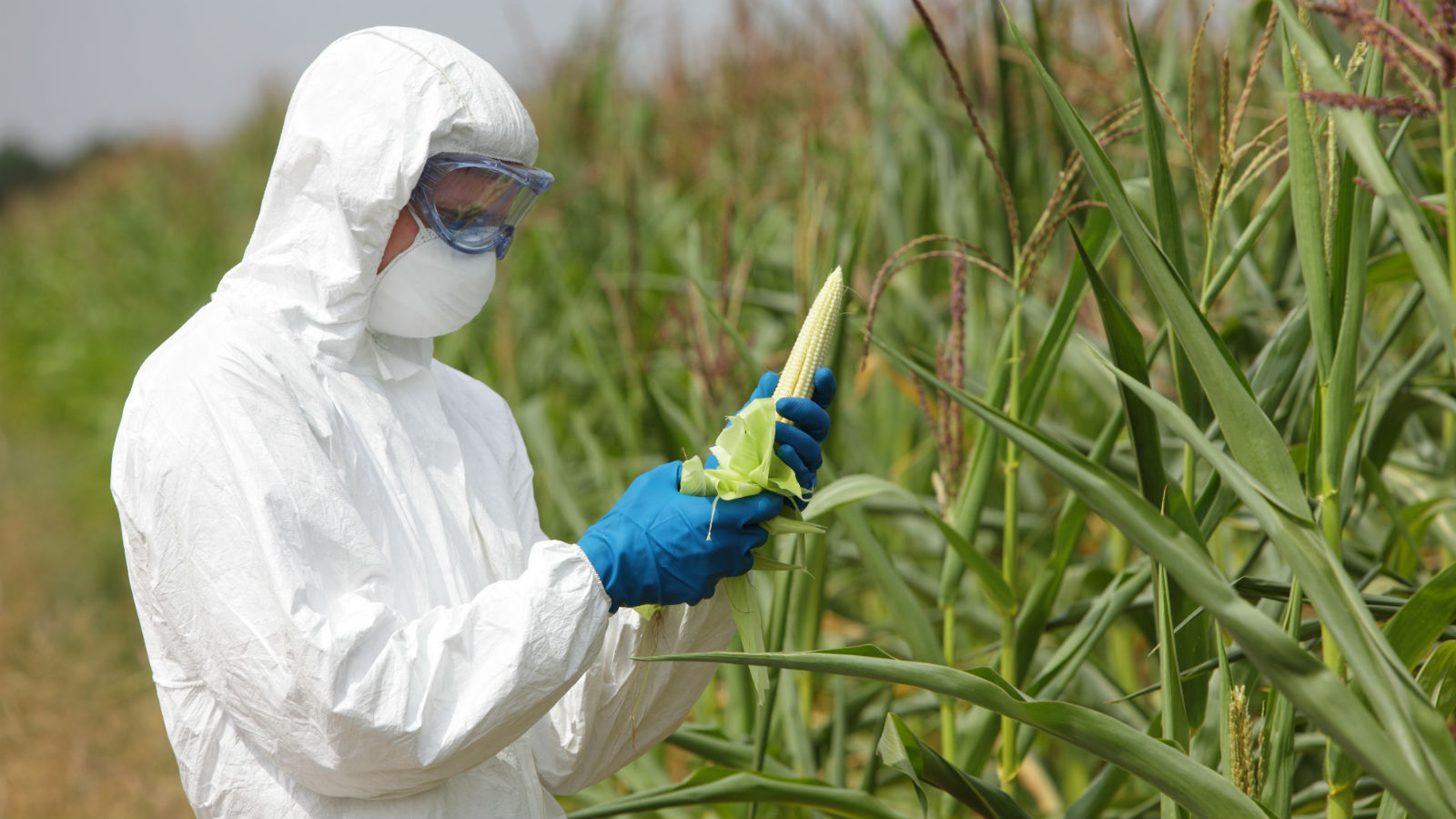 گیاهان تراریخته مقاوم به سموم؛ ایمن هستند یا خطرناک؟