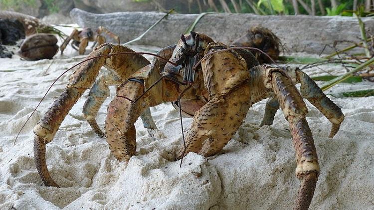 آشنایی با عجایب حیات وحش: خرچنگهای غولپیکر!