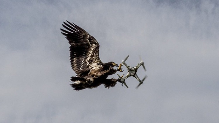آموزش عقاب برای شکار پهپادهای مزاحم