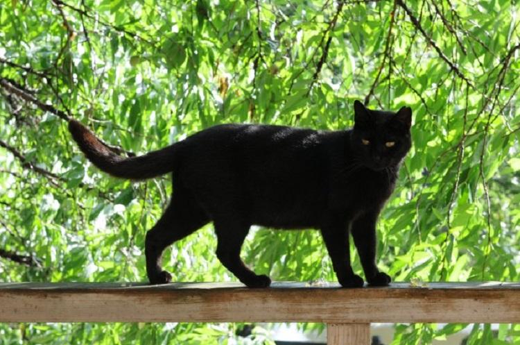 چرا گربه سیاه نماد بدشانسی است؟