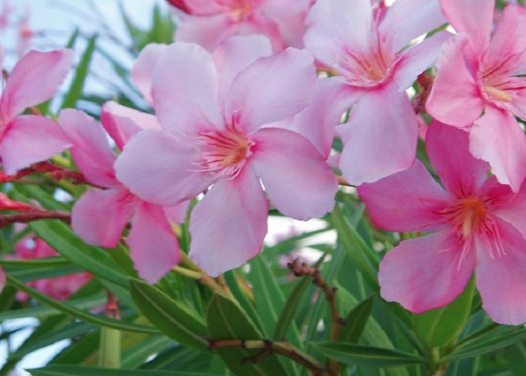 از شوکران تا خرزهره؛ گلهایی زیبا اما کشنده